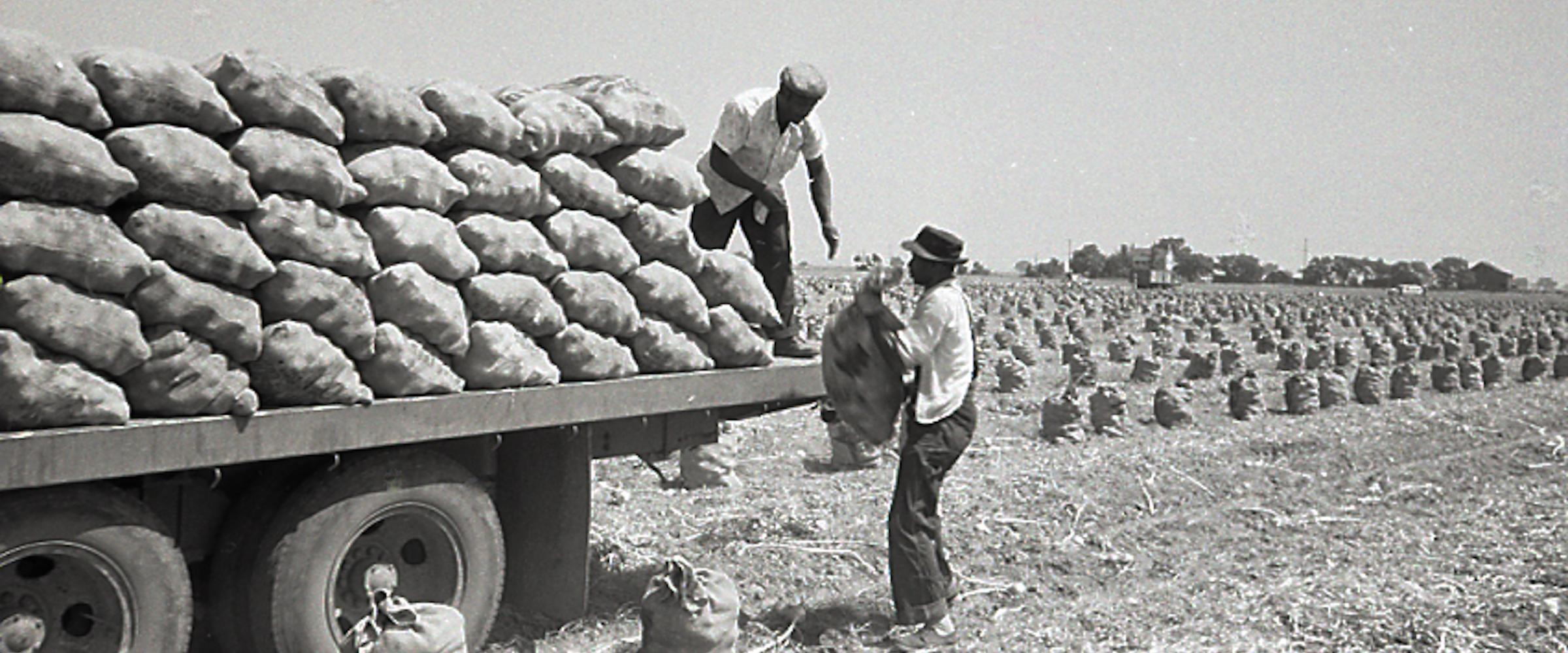 1958, California. Onion Harvest by Hand.