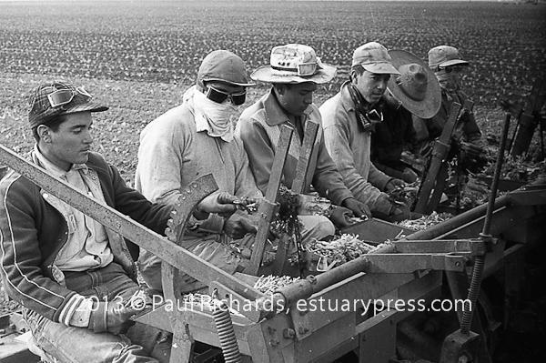 mechanized planting Lettuce, Salinas, California, 1958