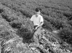Child Labor Picking Carrots, El Centro, CA, 1958