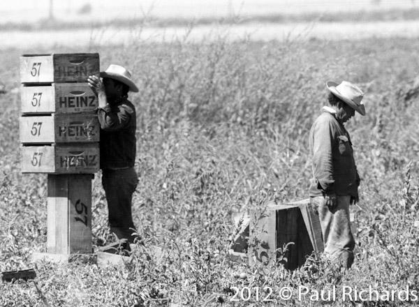 Farm worker urinating in a field in 1962 during harvesting of Heinz 57 tomatoes.