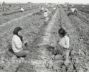 1958, California. Carrot Harvest by Hand.