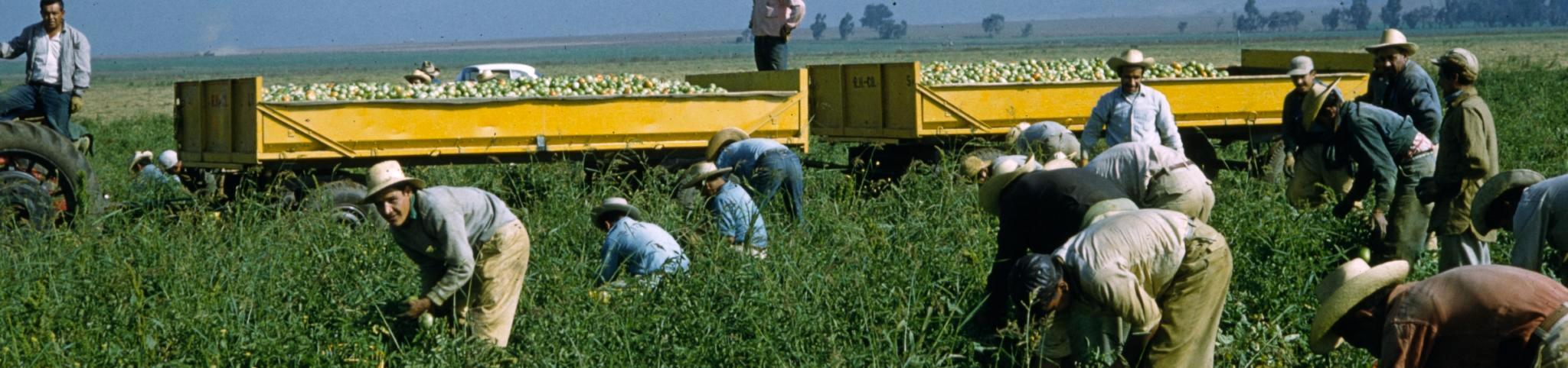 Tomato harvesting by hand, California, 1958