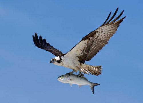 Osprey with fish image
