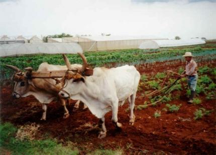 Cuban Oxen pulling a plow.  Photo by Global Exchange.org.